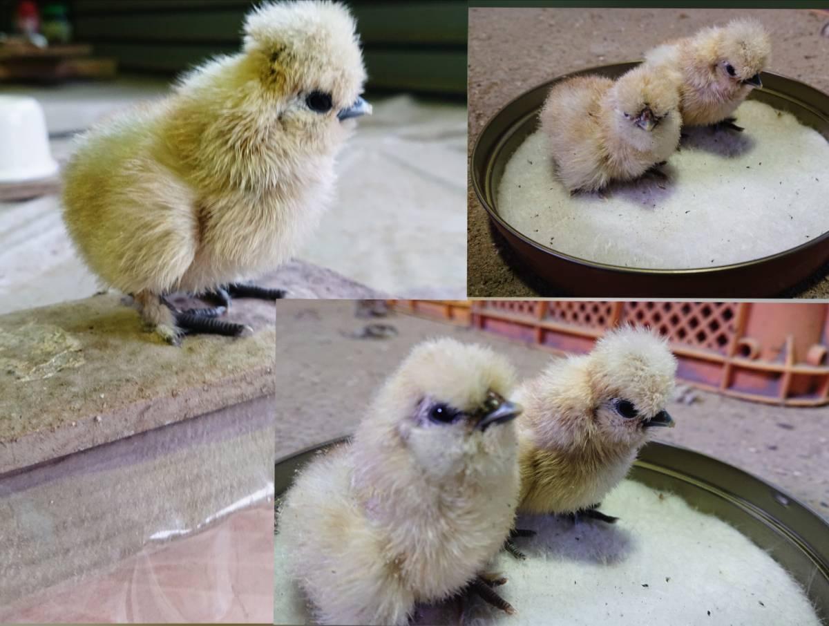 ■■純種烏骨鶏の有精卵⑦個+保証卵①個■■_◎孵化初日!