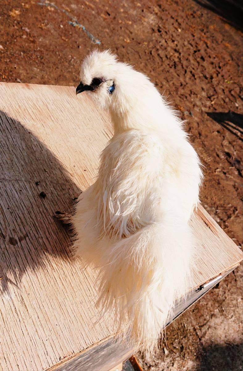■■純種烏骨鶏の有精卵⑦個+保証卵①個■■_★烏骨鶏特有の綺麗な糸毛です★