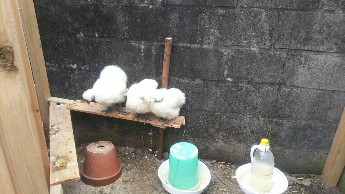 白烏骨鶏 卵8個(割れ保障2個含む) 即決で計10個 有精卵 うこっけい 有精卵 孵化用・食用 産みたて 高栄養 送料無料 格安 お買い得 3Gp_2グループ