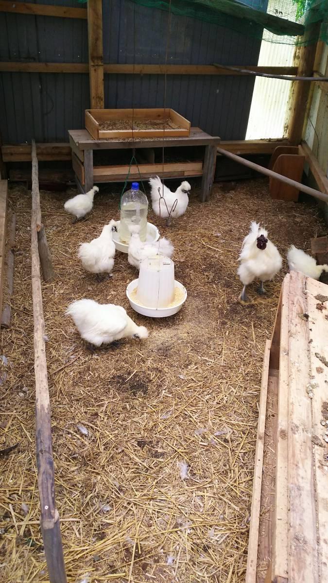 白烏骨鶏 卵8個(割れ保障2個含む) 即決で計10個 有精卵 うこっけい 有精卵 孵化用・食用 産みたて 高栄養 送料無料 格安 お買い得 3Gp_1グループ