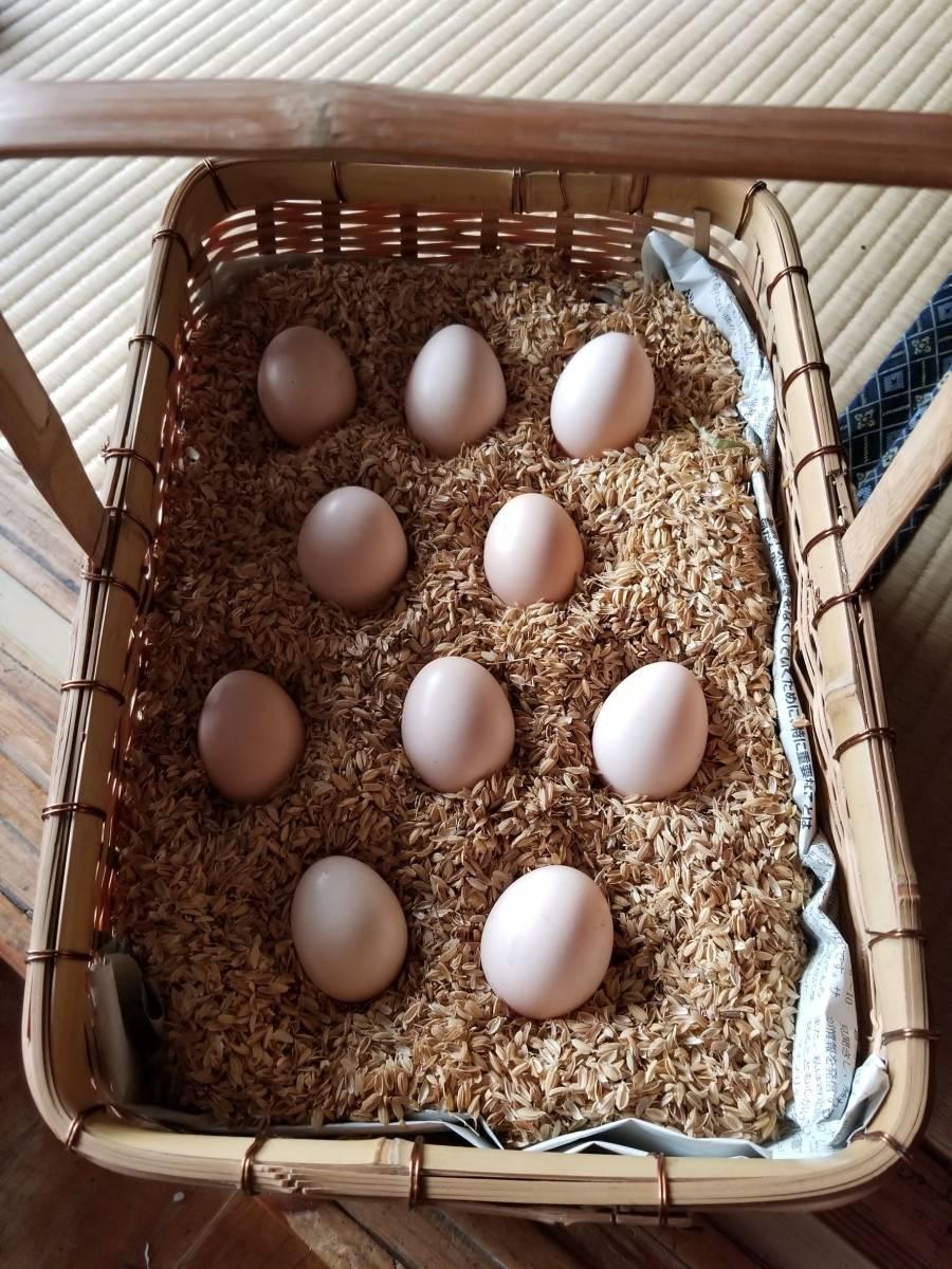 白烏骨鶏 卵8個(割れ保障2個含む) 即決で計10個 有精卵 うこっけい 有精卵 孵化用・食用 産みたて 高栄養 送料無料 格安 お買い得 3Gp_毎日、沢山産んでくれます