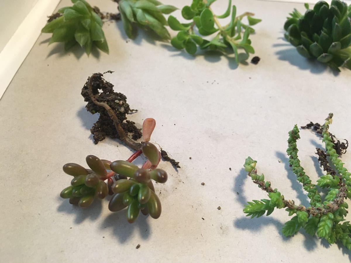 匿名配送 送料込み 丈夫な多肉植物 カット苗 詰め合わせ 10種類 n