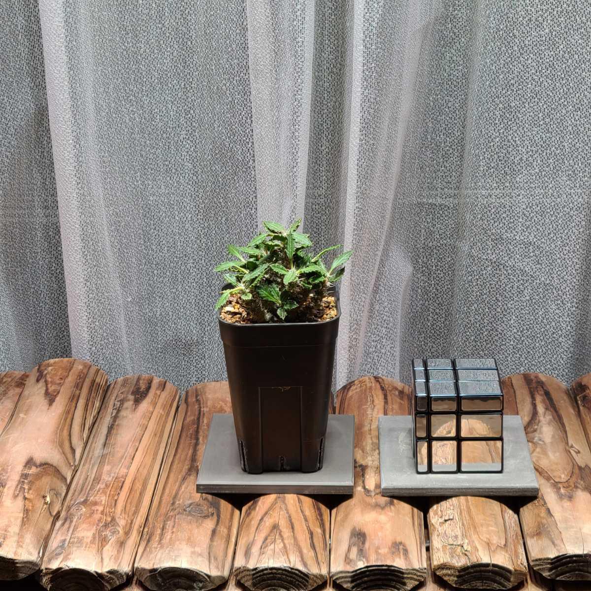 ユーフォルビア トゥレアレンシス コレクション TOKY 塊根植物 多肉植物 希少 パキポディウム グラキリス_画像4