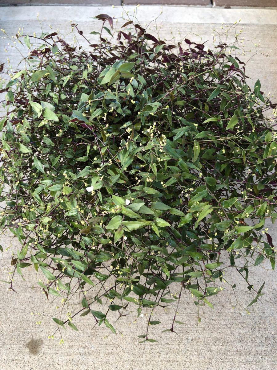 観葉植物 ブライダルベール