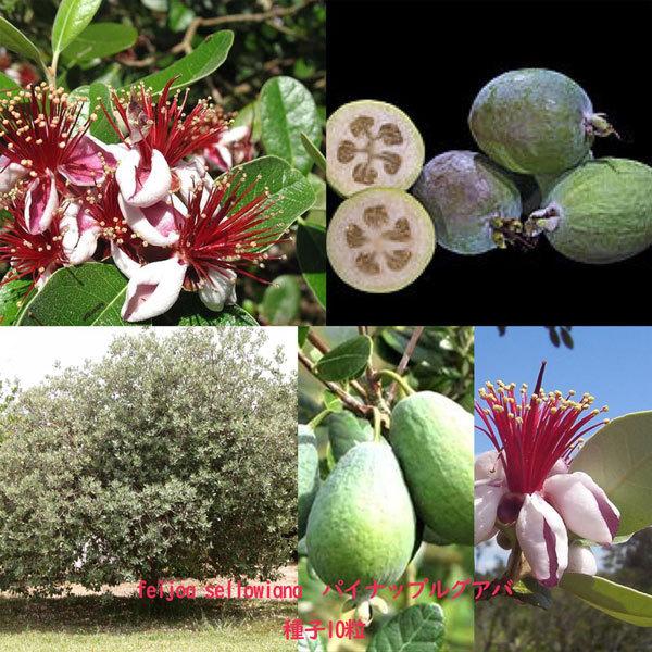多肉植物 種子 種 フェイジョア/フィジョア Acca Sellowiana パイナップルグアバ フトモモ科 種子10粒_画像3