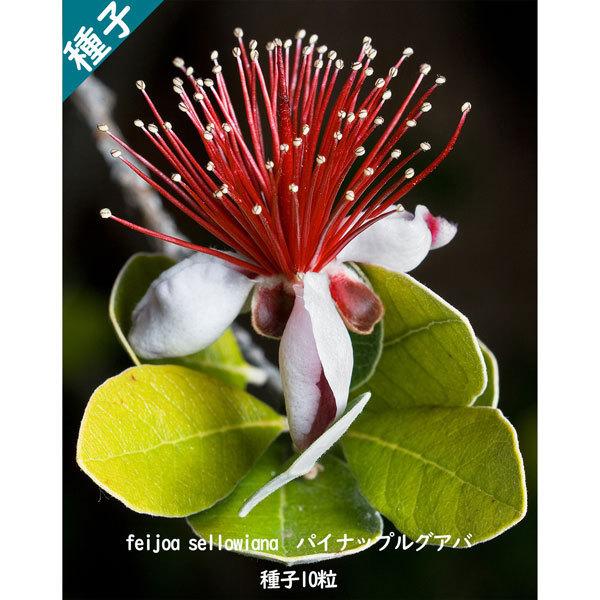 多肉植物 種子 種 フェイジョア/フィジョア Acca Sellowiana パイナップルグアバ フトモモ科 種子10粒_画像1