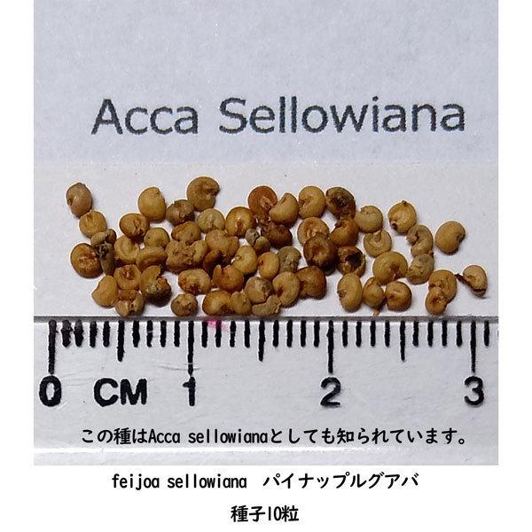 多肉植物 種子 種 フェイジョア/フィジョア Acca Sellowiana パイナップルグアバ フトモモ科 種子10粒_画像2