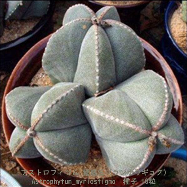 観葉植物 サボテン 種子 種 アストロフィツム ミリオスチグマ Astrophytum Myriostigma 鸞鳳玉 ランポウギョク 10粒_画像4