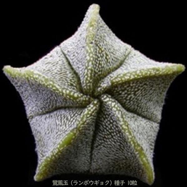 観葉植物 サボテン 種子 種 アストロフィツム ミリオスチグマ Astrophytum Myriostigma 鸞鳳玉 ランポウギョク 10粒_画像5
