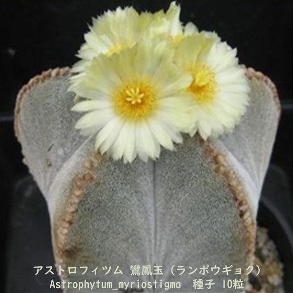 観葉植物 サボテン 種子 種 アストロフィツム ミリオスチグマ Astrophytum Myriostigma 鸞鳳玉 ランポウギョク 10粒_画像3