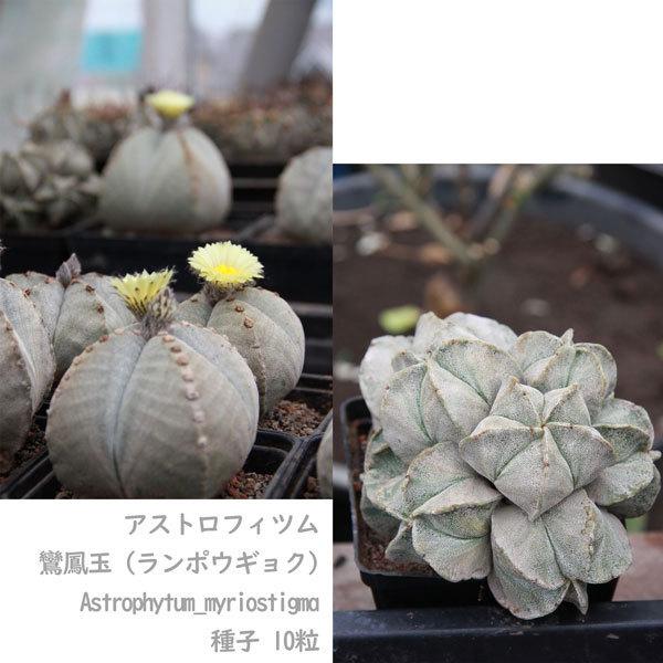 観葉植物 サボテン 種子 種 アストロフィツム ミリオスチグマ Astrophytum Myriostigma 鸞鳳玉 ランポウギョク 10粒_画像6