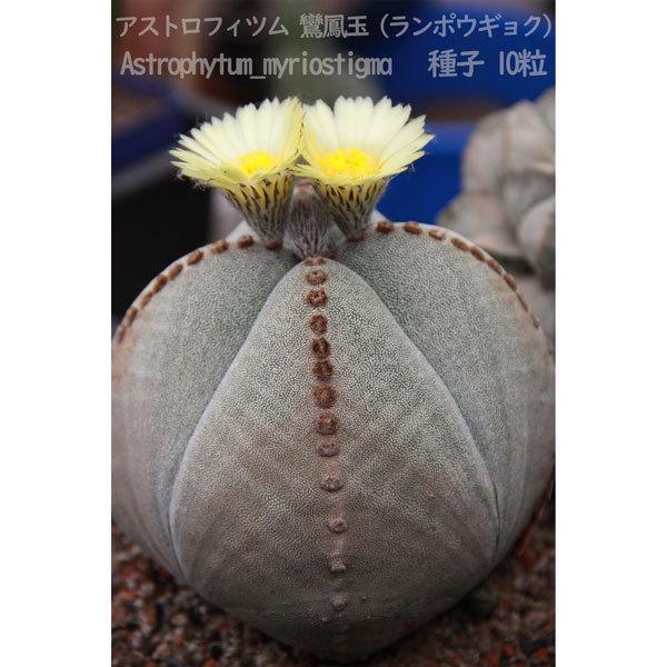 観葉植物 サボテン 種子 種 アストロフィツム ミリオスチグマ Astrophytum Myriostigma 鸞鳳玉 ランポウギョク 10粒_画像7