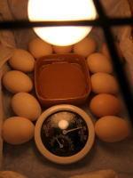 ★東京烏骨鶏有精卵4個+保証2個付き3500円★送料無料~★落札後生みたての卵をお届けします…。_画像2