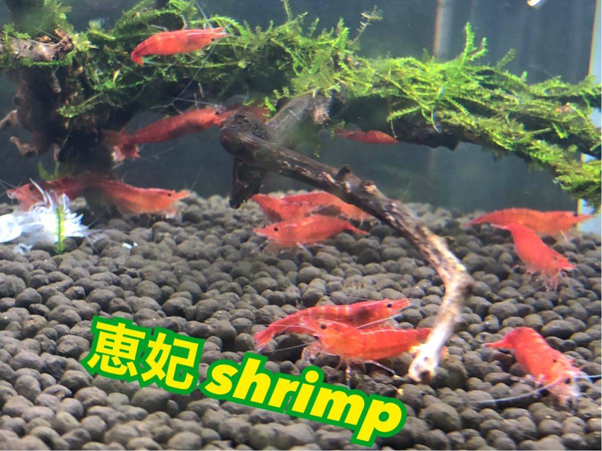 赤い ミナミヌマエビ 稚エビ20匹+α 水草 メダカ 繁殖ビオトープ 赤 アクアリウム 1_画像1