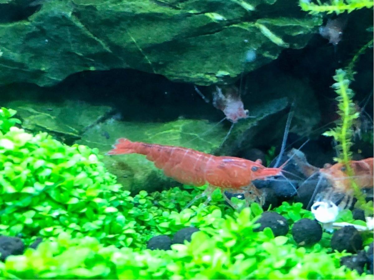 赤い ミナミヌマエビ 稚エビ20匹+α 水草 メダカ 繁殖ビオトープ 赤 アクアリウム 1_画像4