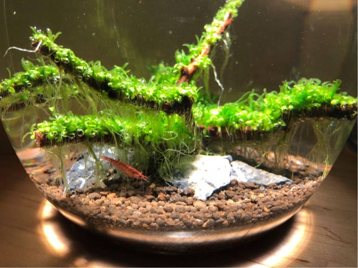 赤い ミナミヌマエビ 稚エビ20匹+α 水草 メダカ 繁殖ビオトープ 赤 アクアリウム 1_画像5