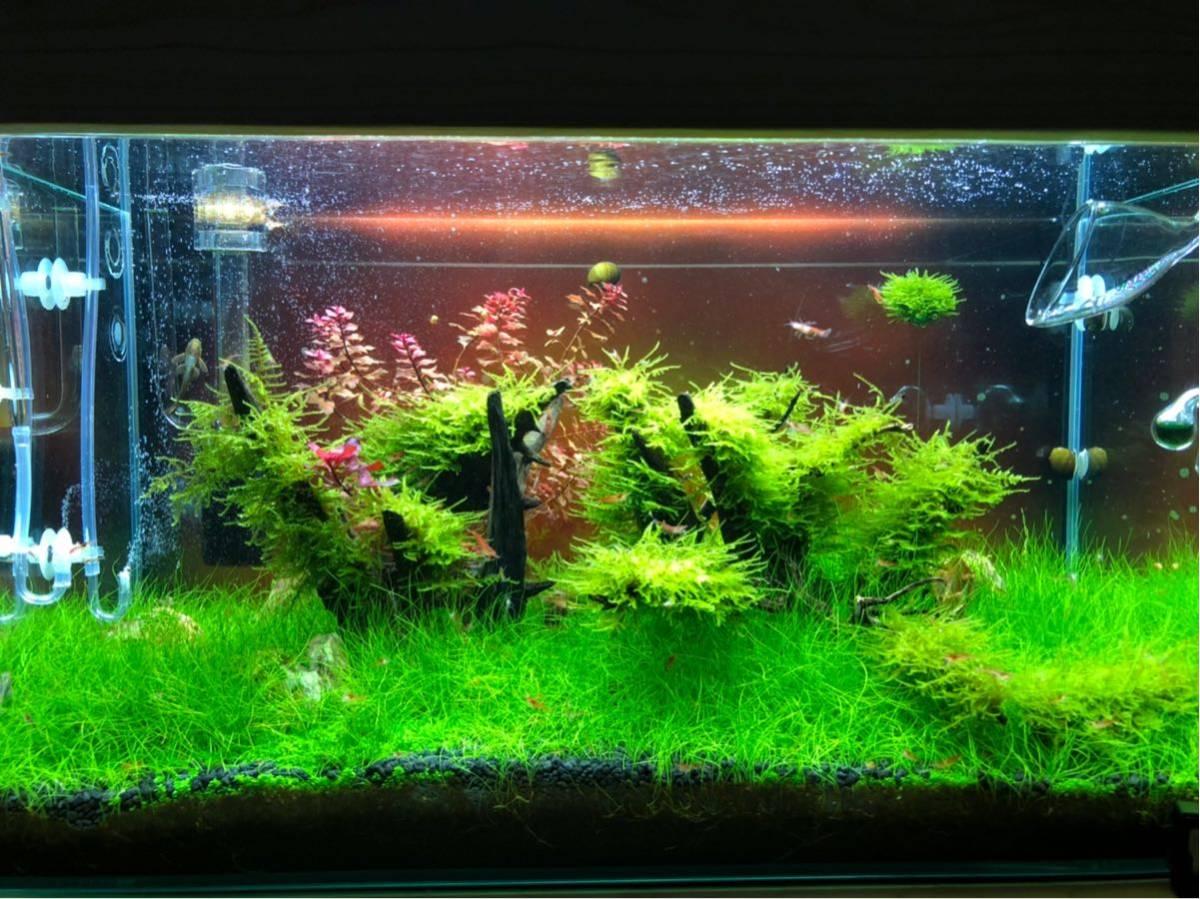 赤い ミナミヌマエビ 稚エビ20匹+α 水草 メダカ 繁殖ビオトープ 赤 アクアリウム 1_画像8