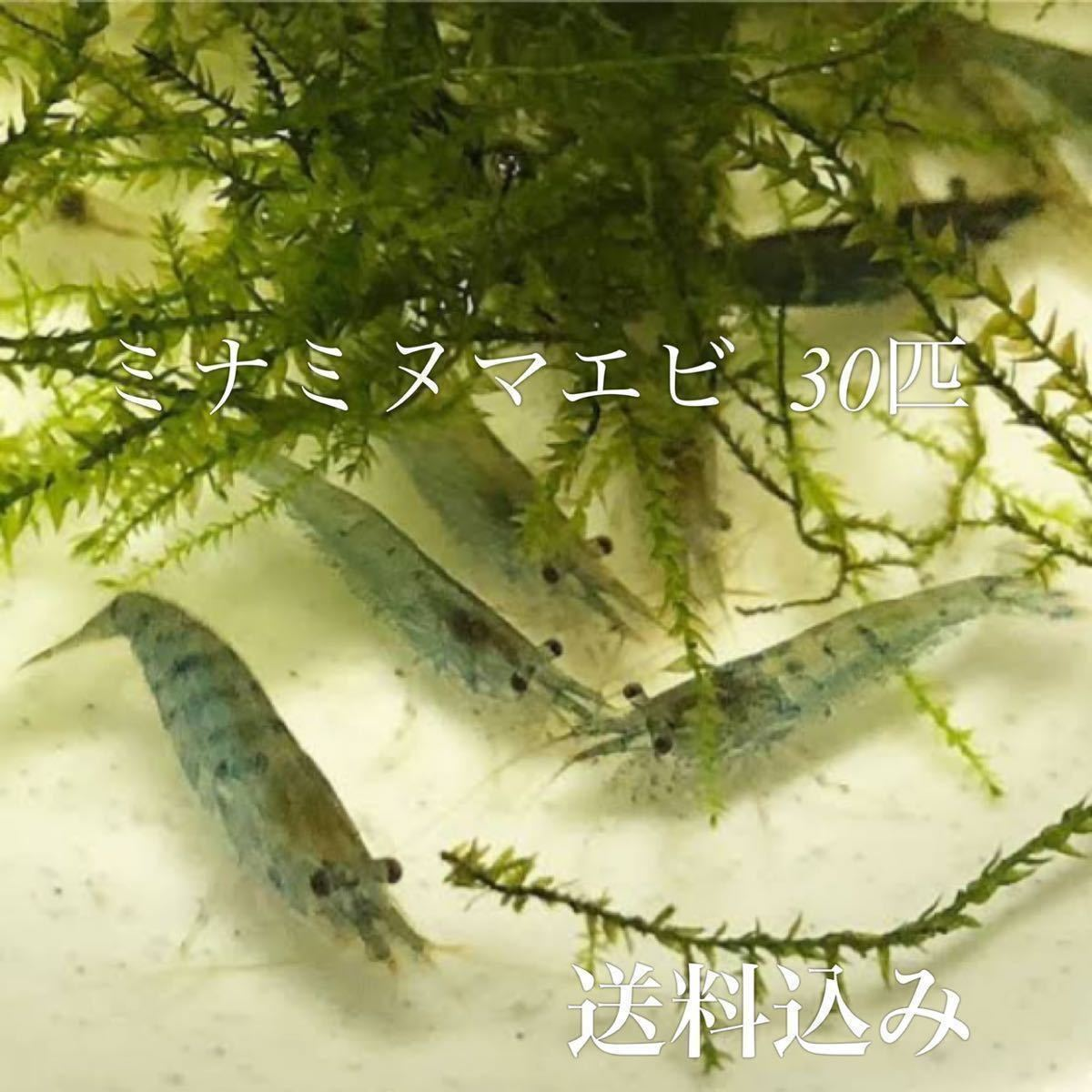 ミナミヌマエビ 30匹 水草 メダカ 金魚 アナカリス 水槽 熱帯魚_画像1