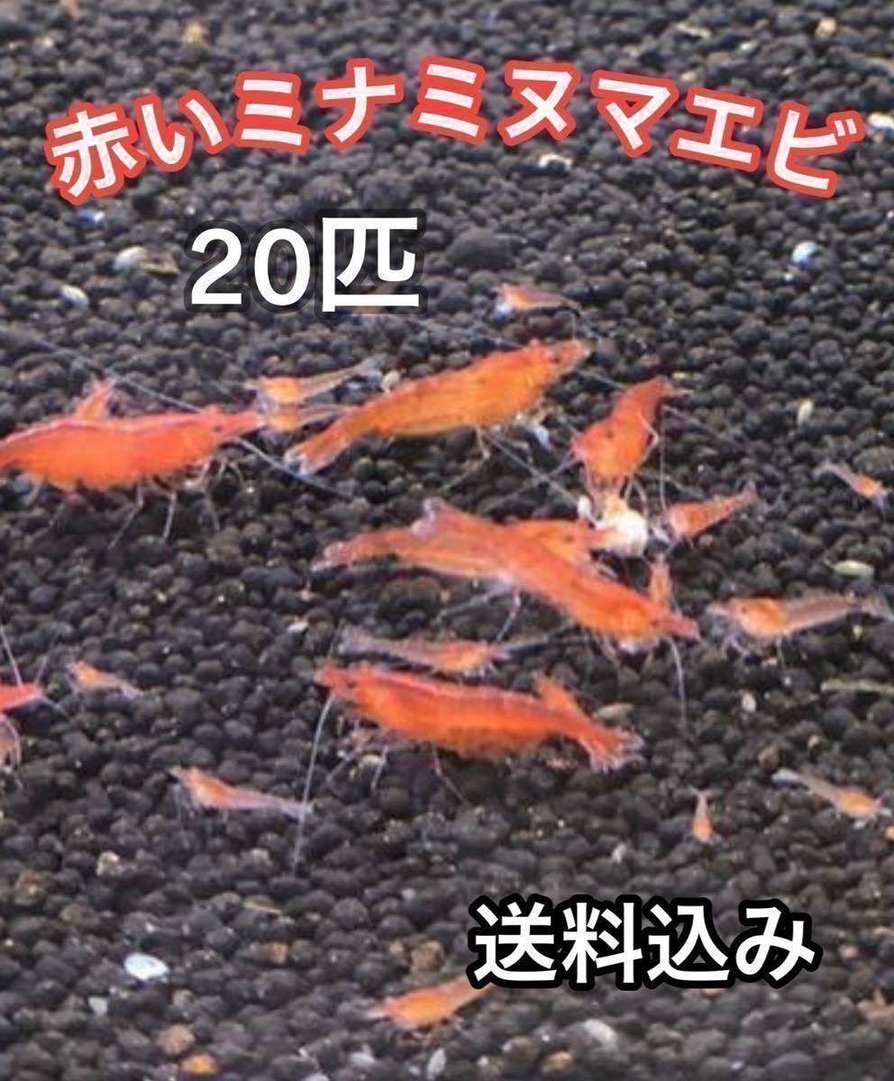 赤いミナミヌマエビ 20匹 ミナミヌマエビ メダカ 金魚 水草 アナカリス 水槽 熱帯魚_画像1