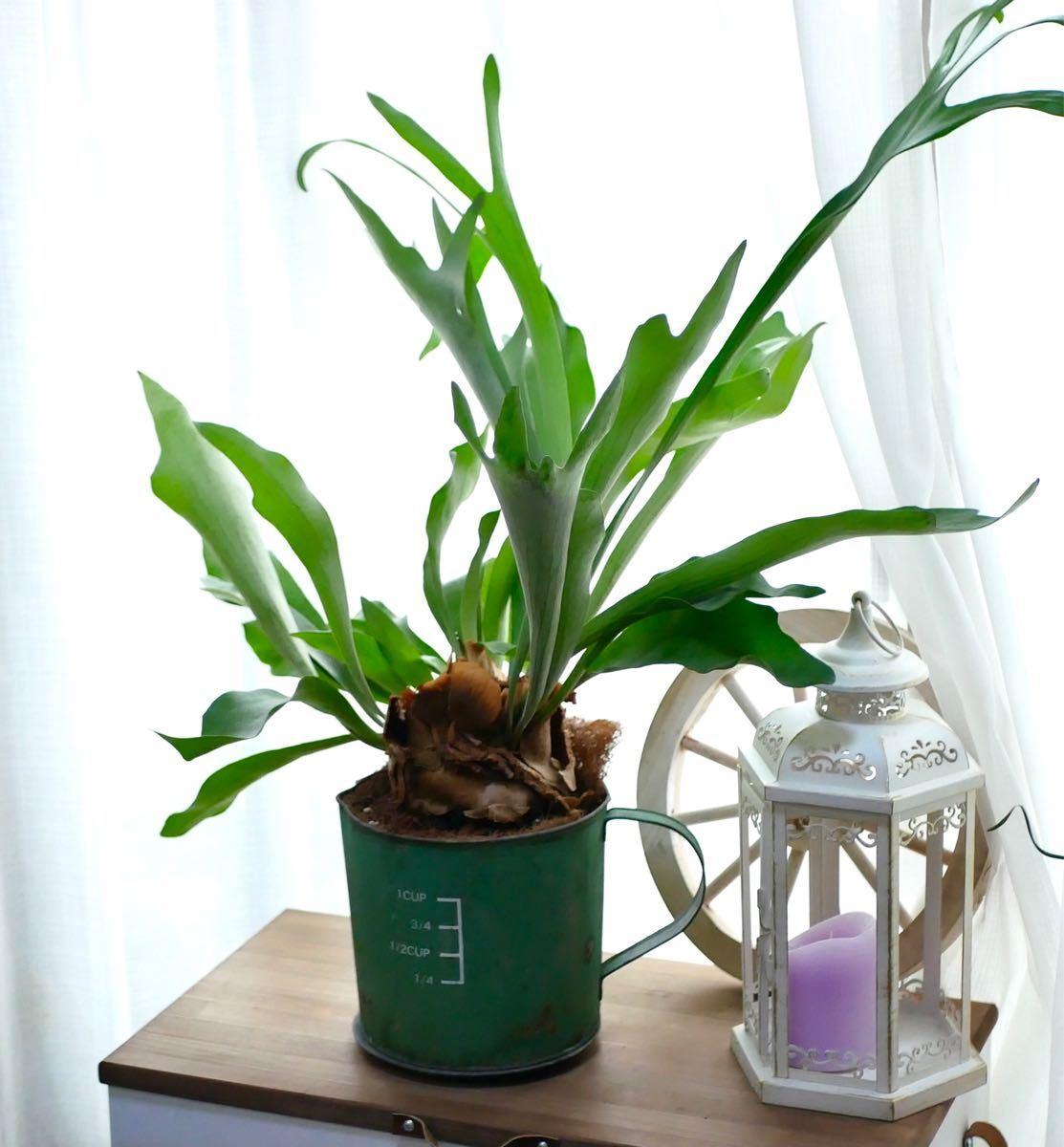 ビカクシダ  大株 希少 大人気 コウモリラン ビフルカツム 観葉植物 ブリキポット 高さ90センチ
