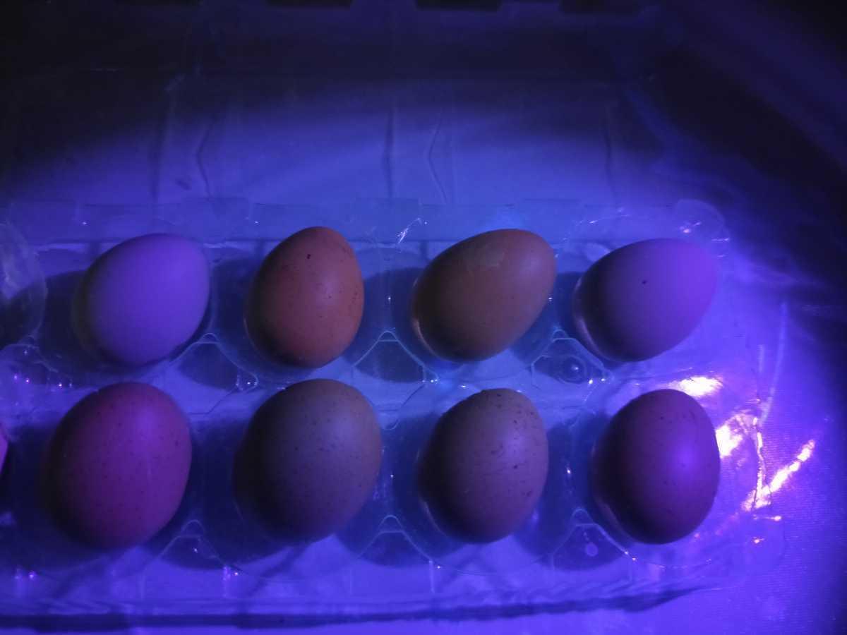 ヒメウズラ(白姫×白姫)有精卵7個_ピンク色に見える卵は二組のツガイのもの