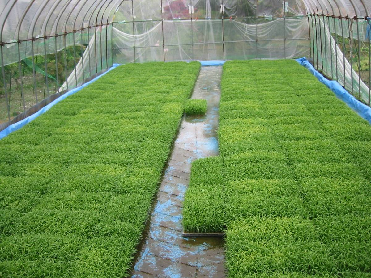 玄米24kg 令和2年産米 岩手県奥州市前沢産ひとめぼれ 農家直売_苗作りです。