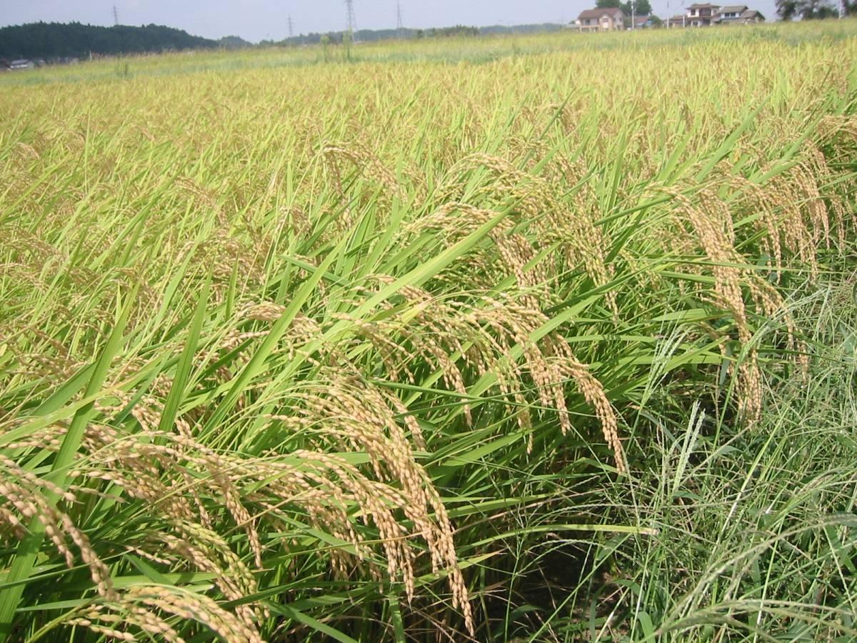 新米できました 白米20kg 令和3年産米 岩手県奥州市前沢産ひとめぼれ 農家直売_北上川のほとりの肥沃な土地です。