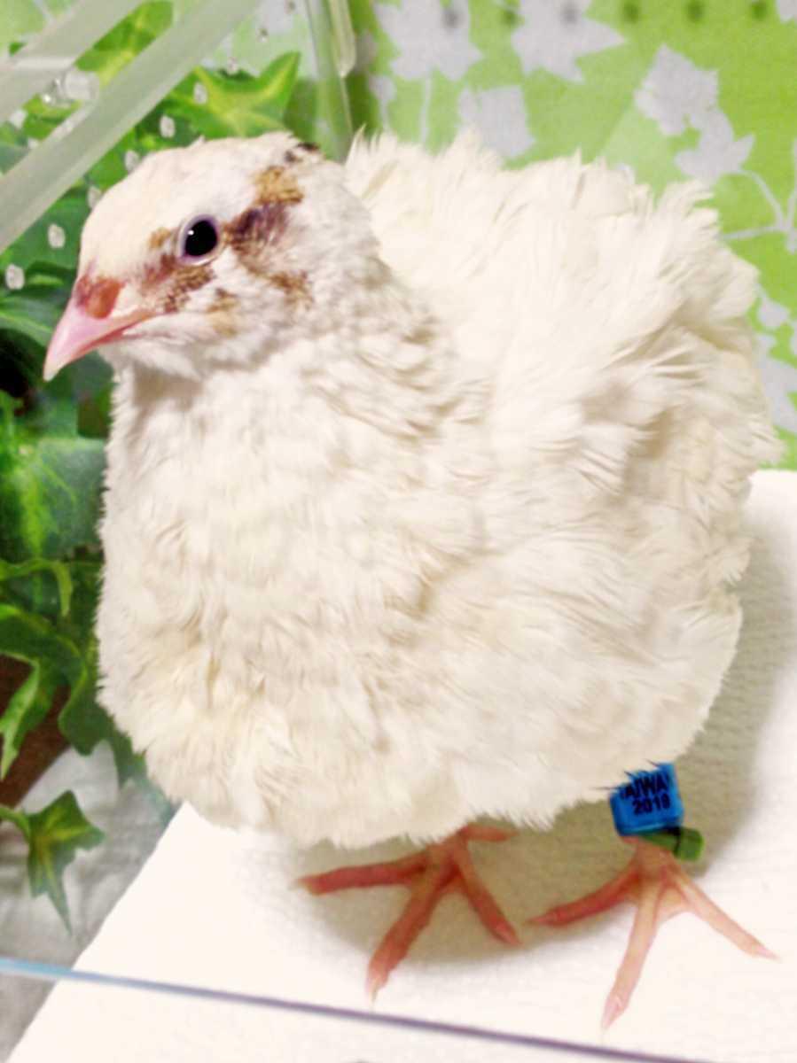 色変わり並ウズラの種卵8個 並うずら 並鶉 日本ウズラ 日本うずら 日本鶉 有精卵_画像1