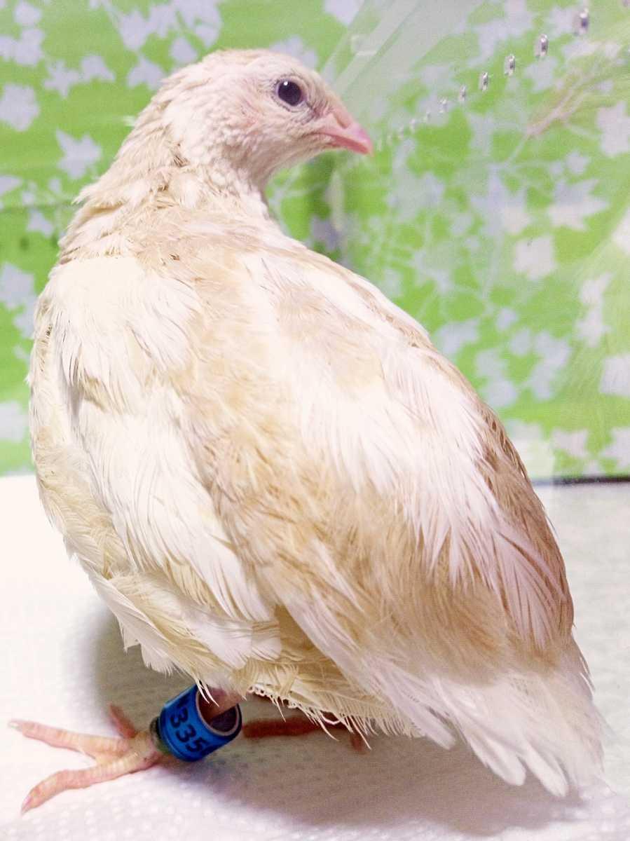 色変わり並ウズラの種卵8個 並うずら 並鶉 日本ウズラ 日本うずら 日本鶉 有精卵_画像2