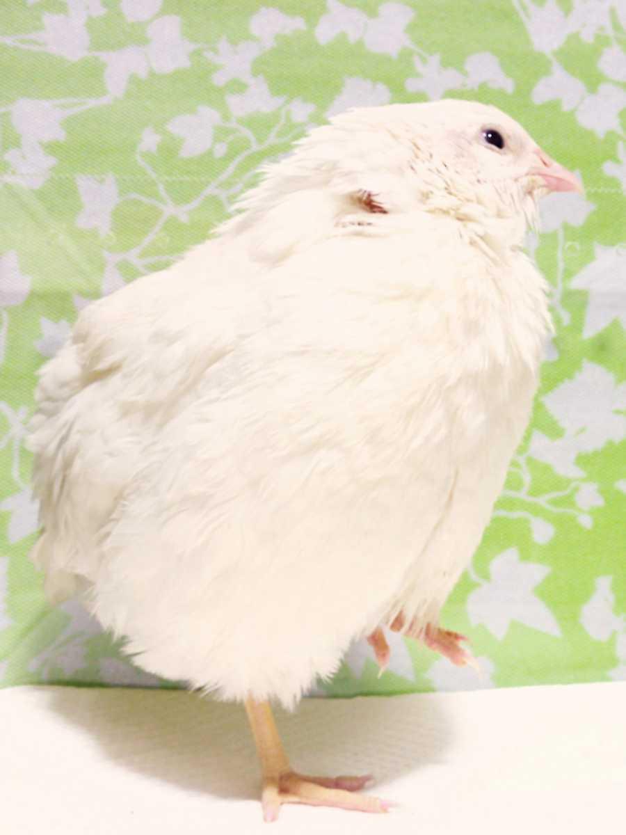 色変わり並ウズラの種卵8個 並うずら 並鶉 日本ウズラ 日本うずら 日本鶉 有精卵_画像3