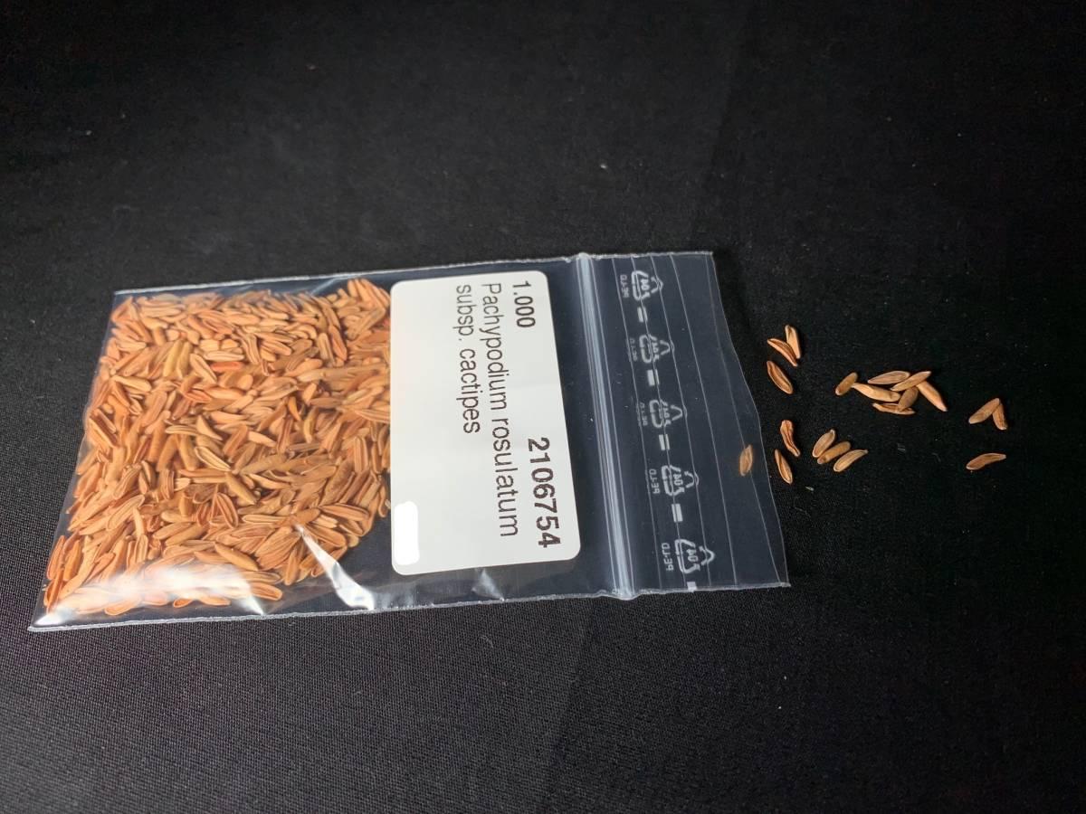 【送料無料】種子10粒 パキポディウム ロスラーツムカクチペス No.1 _画像1