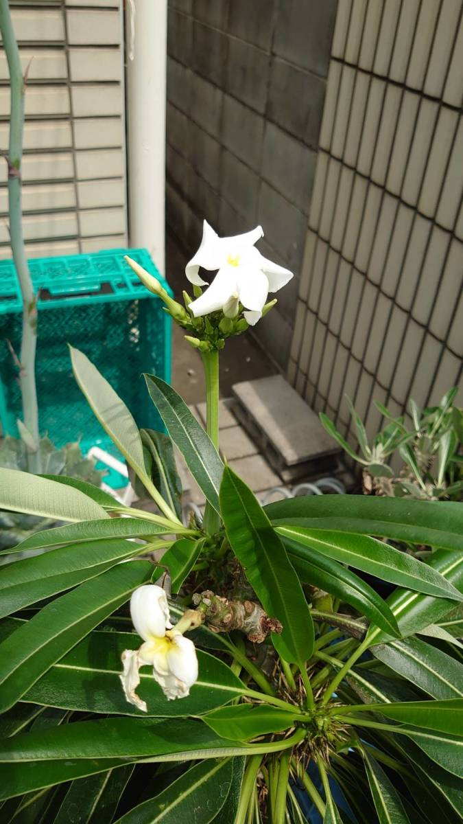 【送料無料】種子10粒 パキポディウム ラメリー(夢叶棒)No.2_画像7