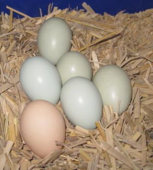 ◎青玉白烏骨鶏の有精卵5個◎_画像5