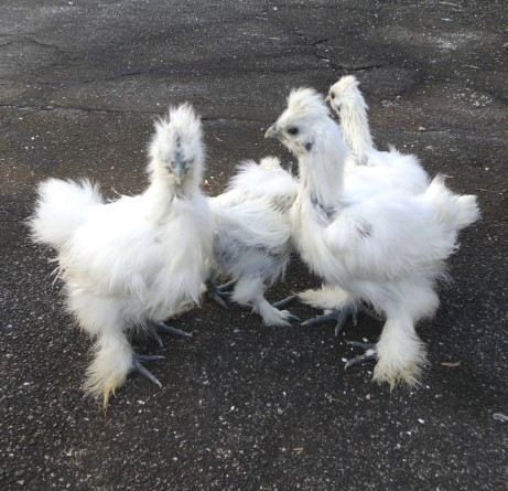 ◎青玉白烏骨鶏の有精卵5個◎_画像3