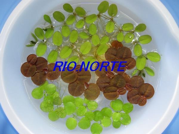 【期間限定】NO.4 浮草3種類 ドワーフアマゾンフロッグピット、フィランサス・フルイタンス、サンショウモ 無農薬育ち_同等量の出品