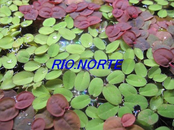 【期間限定】NO.4 浮草3種類 ドワーフアマゾンフロッグピット、フィランサス・フルイタンス、サンショウモ 無農薬育ち_育成環境