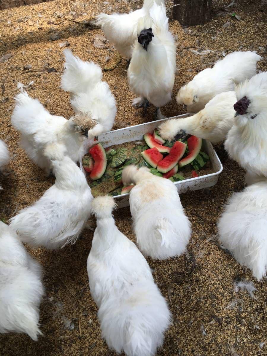 平飼い烏骨鶏の有精卵5個 期間限定値引き_画像9