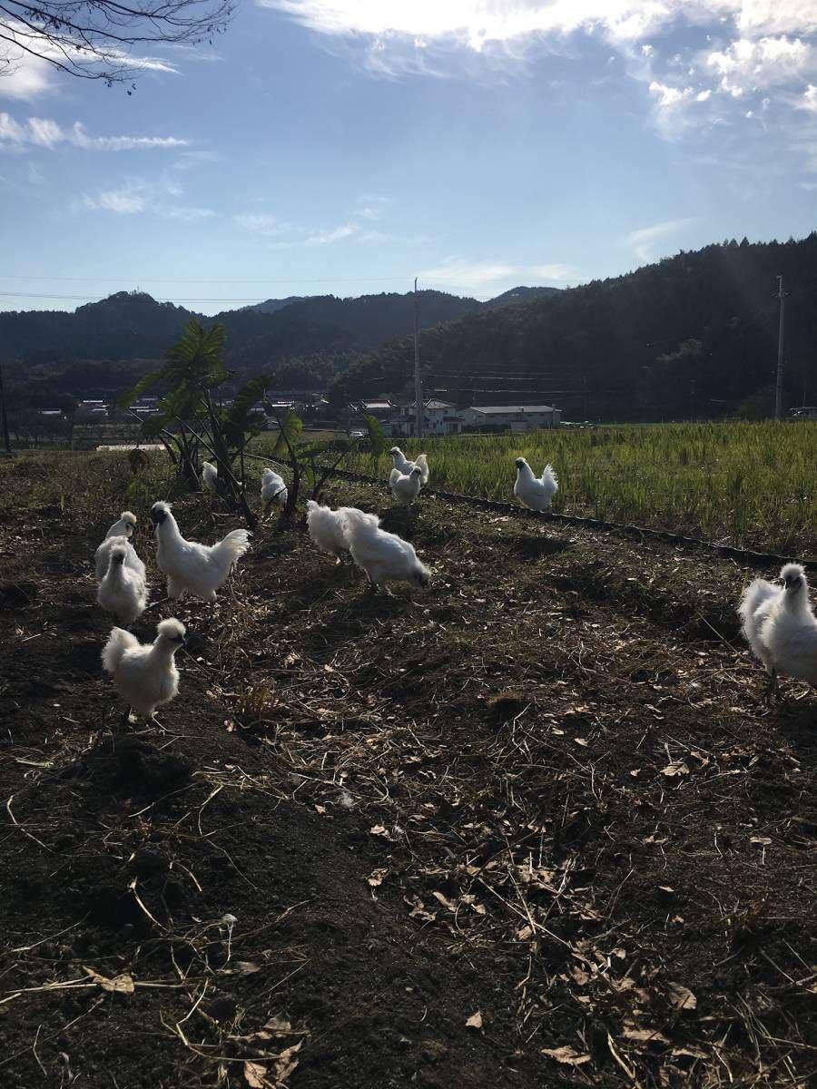 平飼い烏骨鶏の有精卵5個 期間限定値引き_画像10