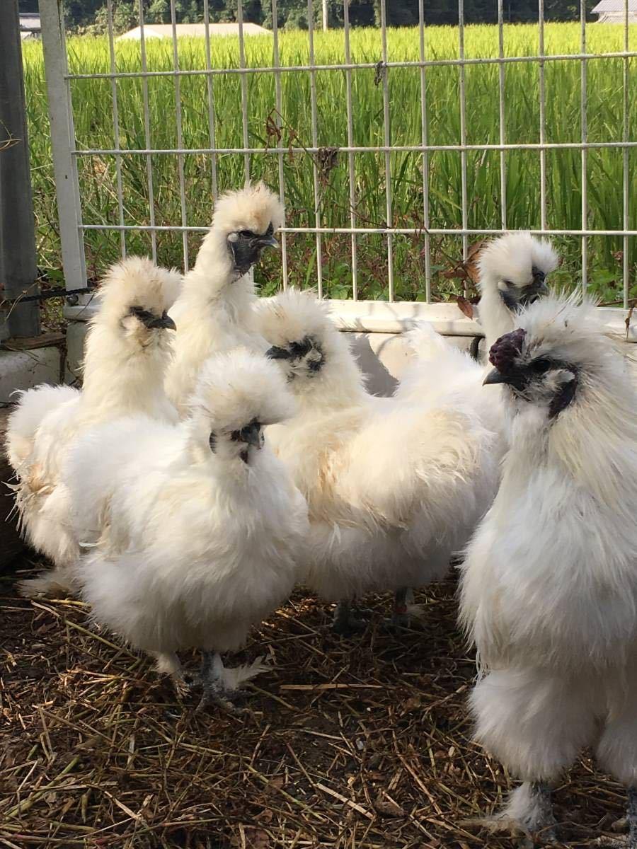 平飼い烏骨鶏の有精卵5個 期間限定値引き_画像8