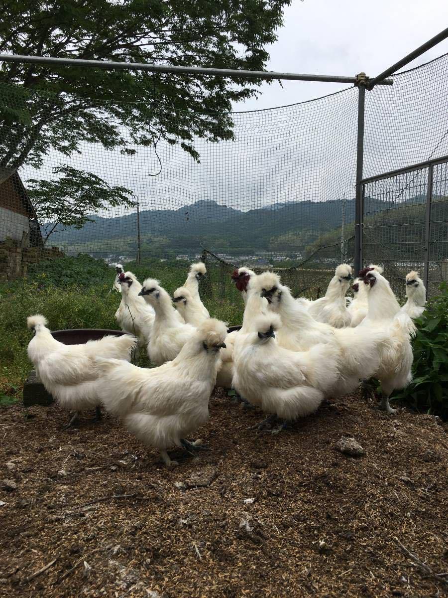 平飼い烏骨鶏の有精卵5個 期間限定値引き_画像1