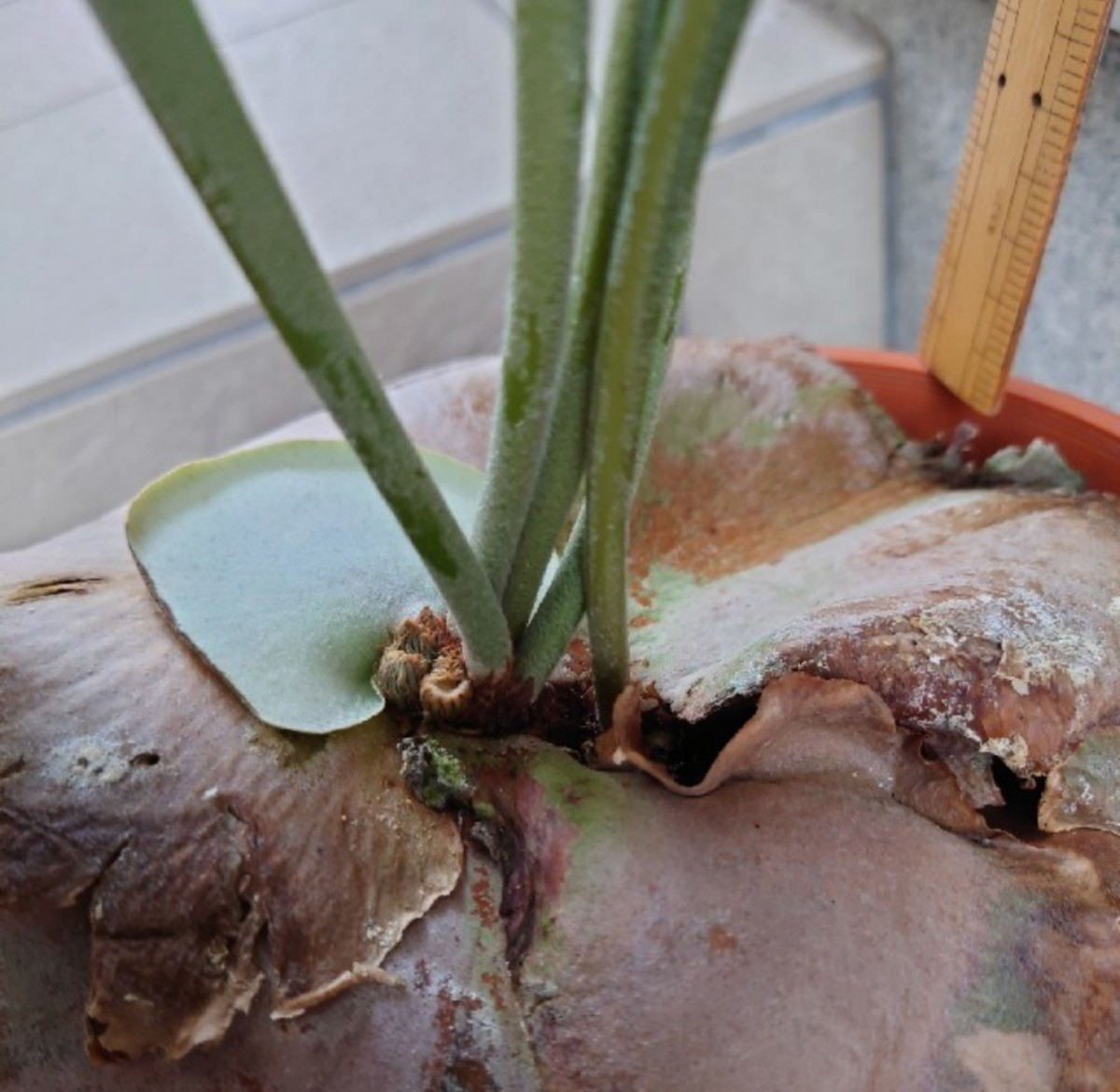 ビカクシダ コウモリランネザーランドインテリアにオシャレな観葉植物 鉢入り