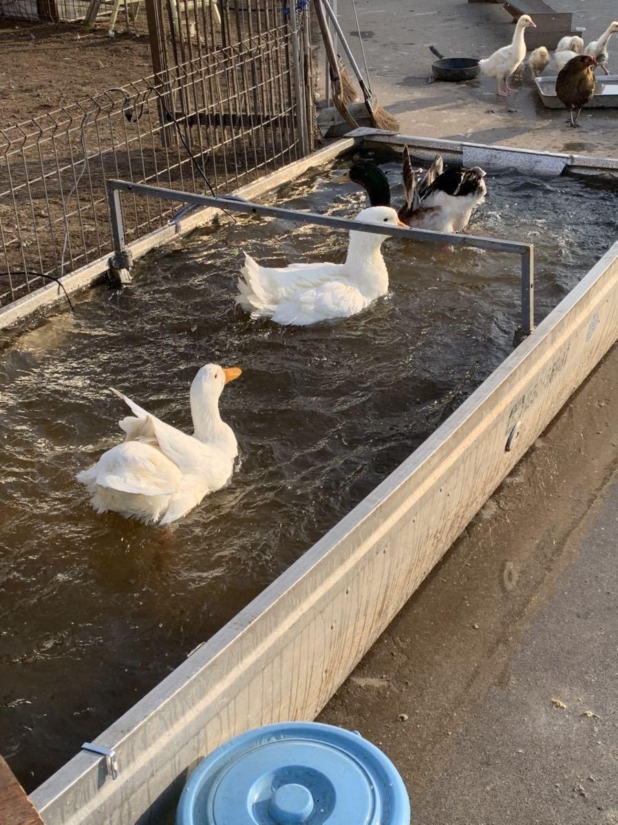 アヒルと合鴨の有精卵 3個_画像3