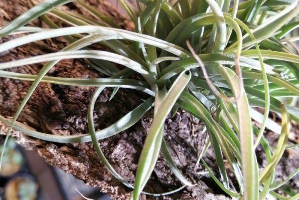 5個 ミニ コルク 8×10cm(厚約17-20mm)洋蘭 原種 チランジア エアープランツ 熱帯植物 ラン コルク 樹皮_着生例