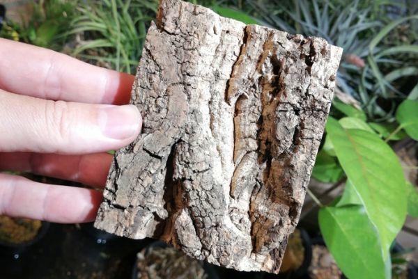 5個 ミニ コルク 8×10cm(厚約17-20mm)洋蘭 原種 チランジア エアープランツ 熱帯植物 ラン コルク 樹皮_画像1