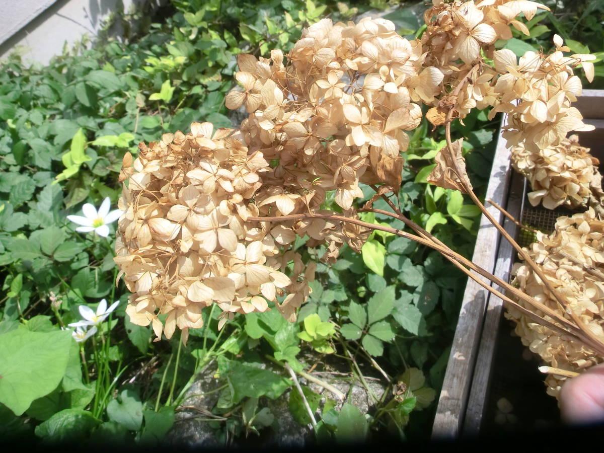 無着色アジサイ大量ドライフラワー天然素材料ナチュラルフラワーあじさい乾燥紫陽花クリスマスリース手工芸カントリーアレンジハーバリウム_画像7