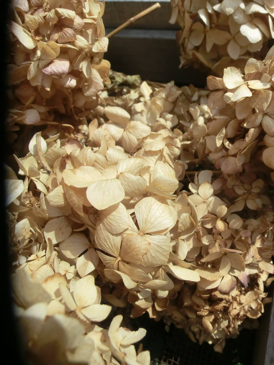 無着色アジサイ大量ドライフラワー天然素材料ナチュラルフラワーあじさい乾燥紫陽花クリスマスリース手工芸カントリーアレンジハーバリウム_画像3
