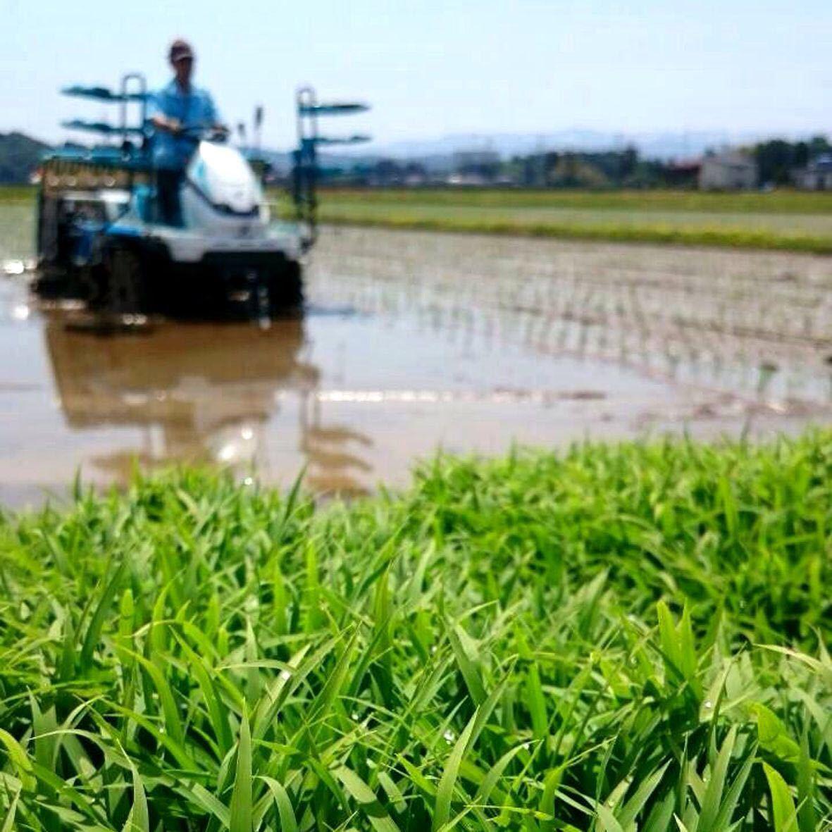 令和3年産新米・新潟コシヒカリ・新潟県認証特別栽培米1等白米5キロ 1個_画像6