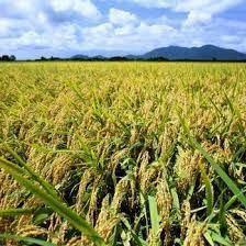 令和3年産新米・新潟コシヒカリ・新潟県認証特別栽培米1等白米5キロ 1個_画像7