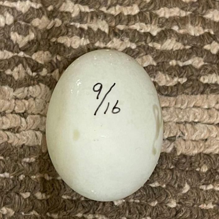 【目髙ノ雫】 コールダック 卵 1 個 9/18 産卵 有精卵_画像10