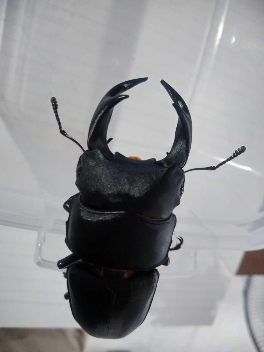 【新成虫】能勢YGオオクワガタ♂63mm+♀42mmペア_画像3